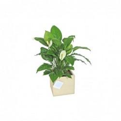 Planta Diosa